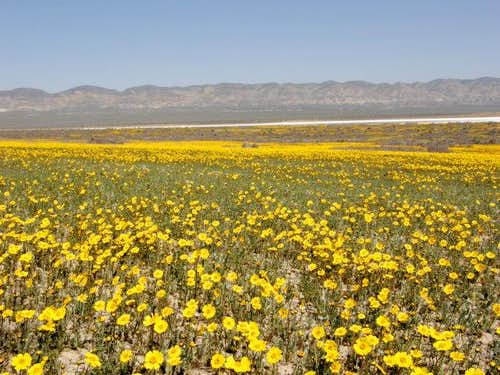 Endless Goldfields and Daisies