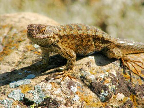 Lizard at Selby Rocks
