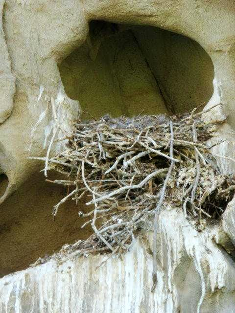Bird Nest at Selby Rocks