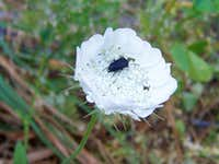 Beetle on a White Flower