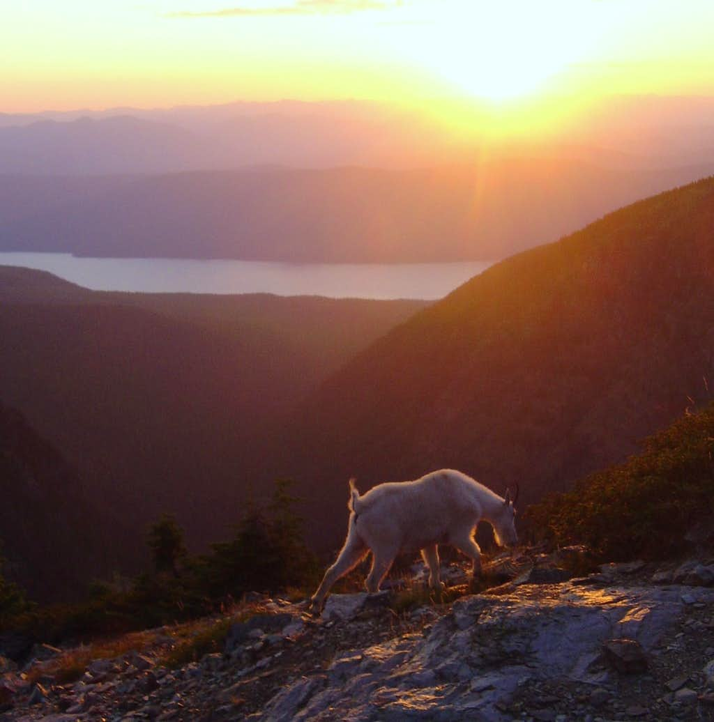 Mountain Goat at Sunset