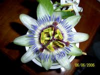 'Clock Flower' Passiflora