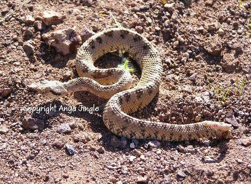Mojave Desert Sidewinder