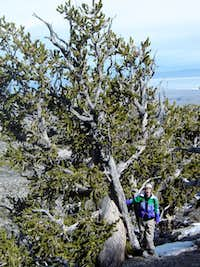 Matt and a mature bristlecone