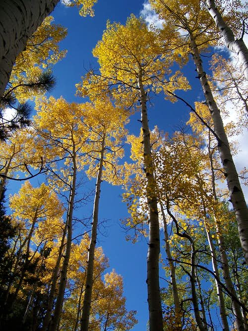 September Colorado Aspen near McCurdy Mountain
