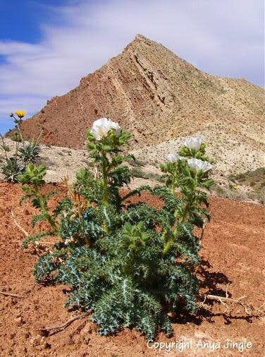 Mojave Prickly Poppy
