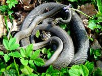 Grass Snake Couple