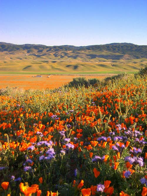 Antelope Valley in Bloom