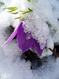 Pasque flower after spring snowstorm