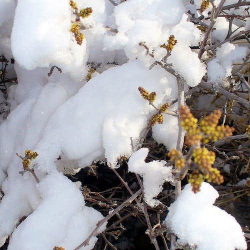 Blooming skunkberry