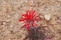 flower in southern Utah desert