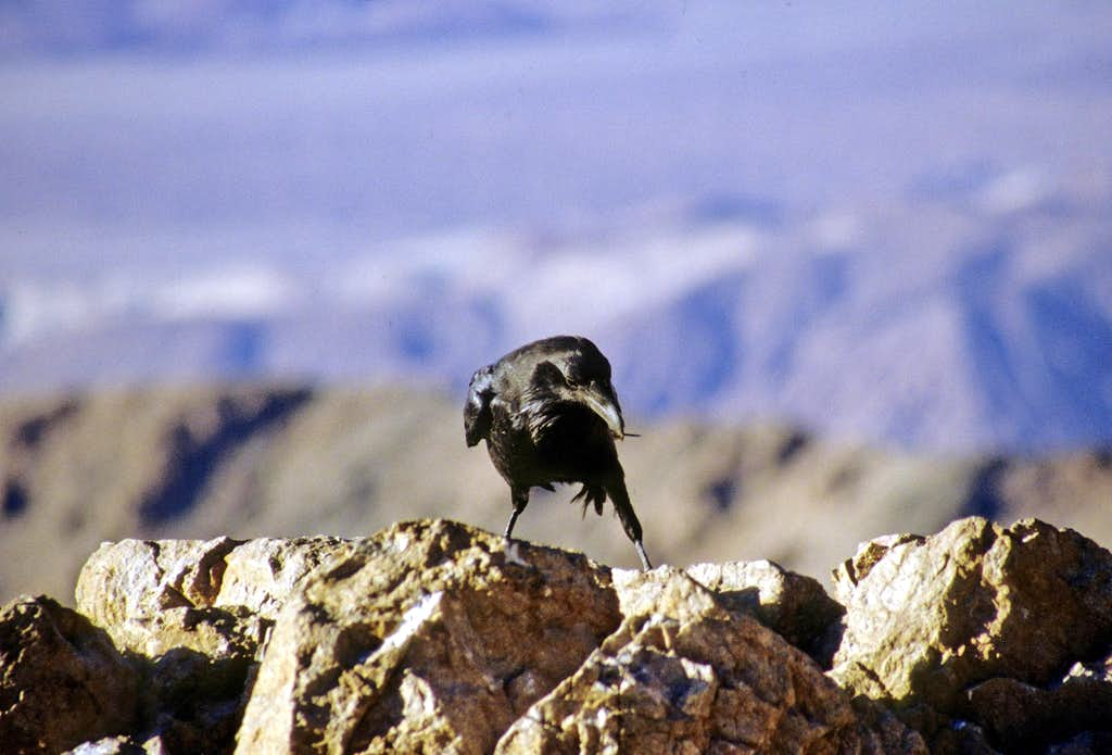 Crow on Dante's View