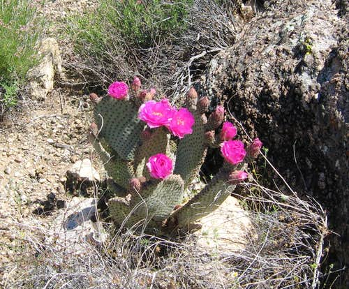Cactus flowers in bloom