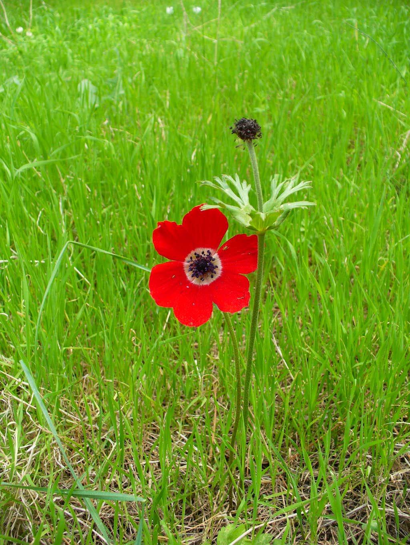 Poppy anemone (kalaniyot) at Gilboa Mountain