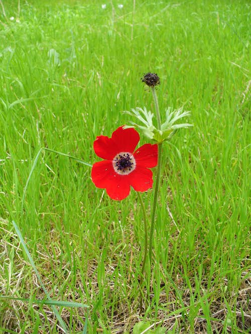 Poppy anemone (kalaniyot) at Gilboa Mountain