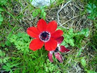 Poppy anemone: as if snuffed out by the wind...