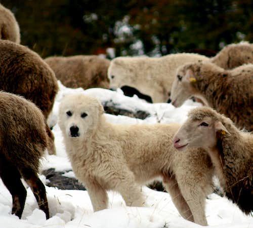 Mountain sheep dog, Abruzzo Italy