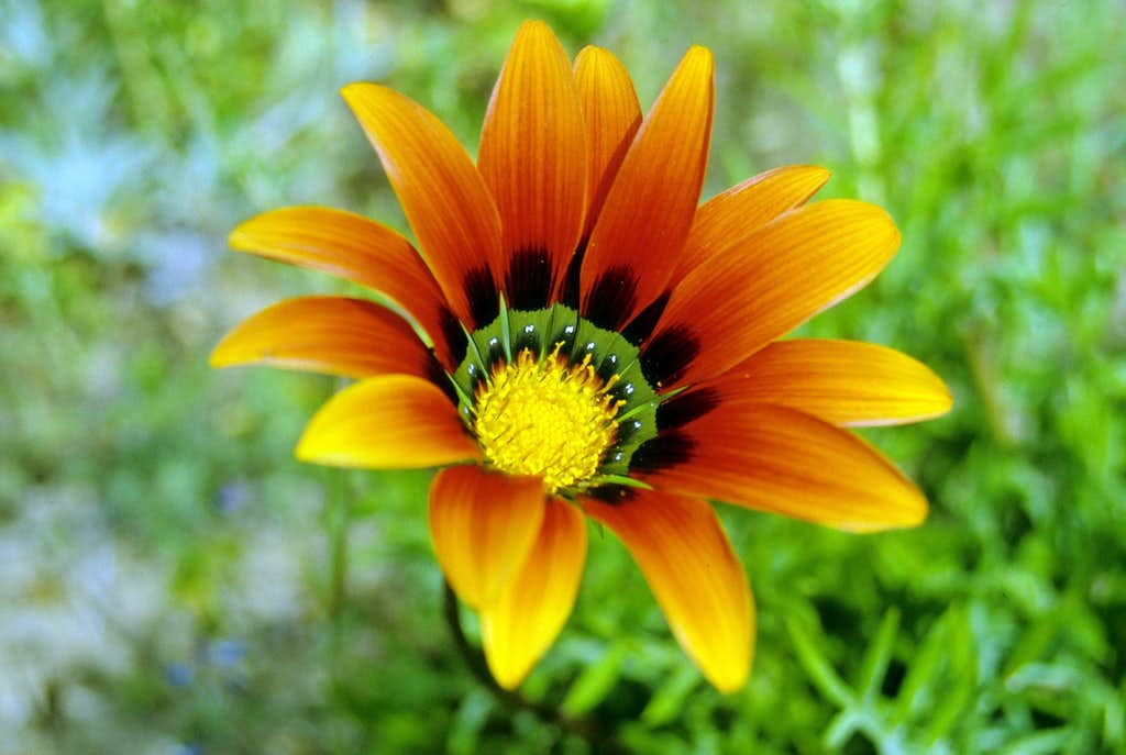Treasure Flower (<i>Gazania linearis</i>)