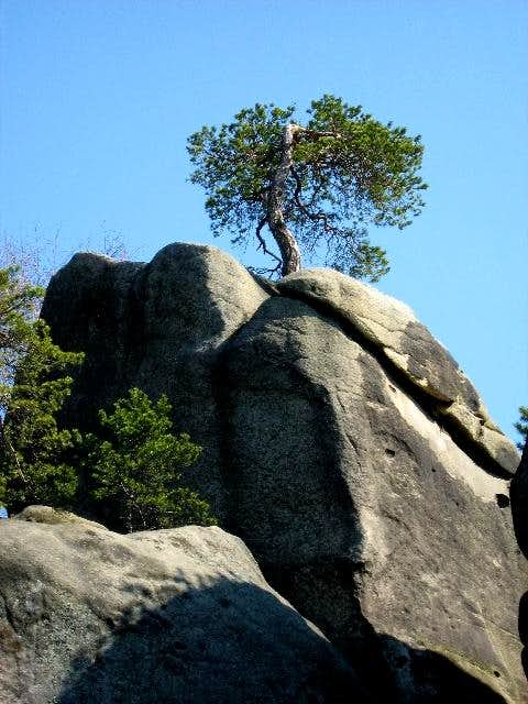 Pine Tree on Sandstone Tor