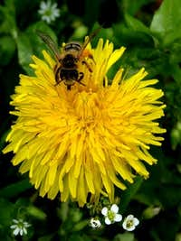 Bee on a flower of Dandelion