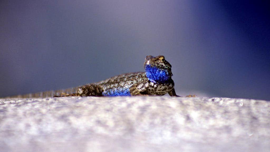 Lizard Close-Up on Glacier Point