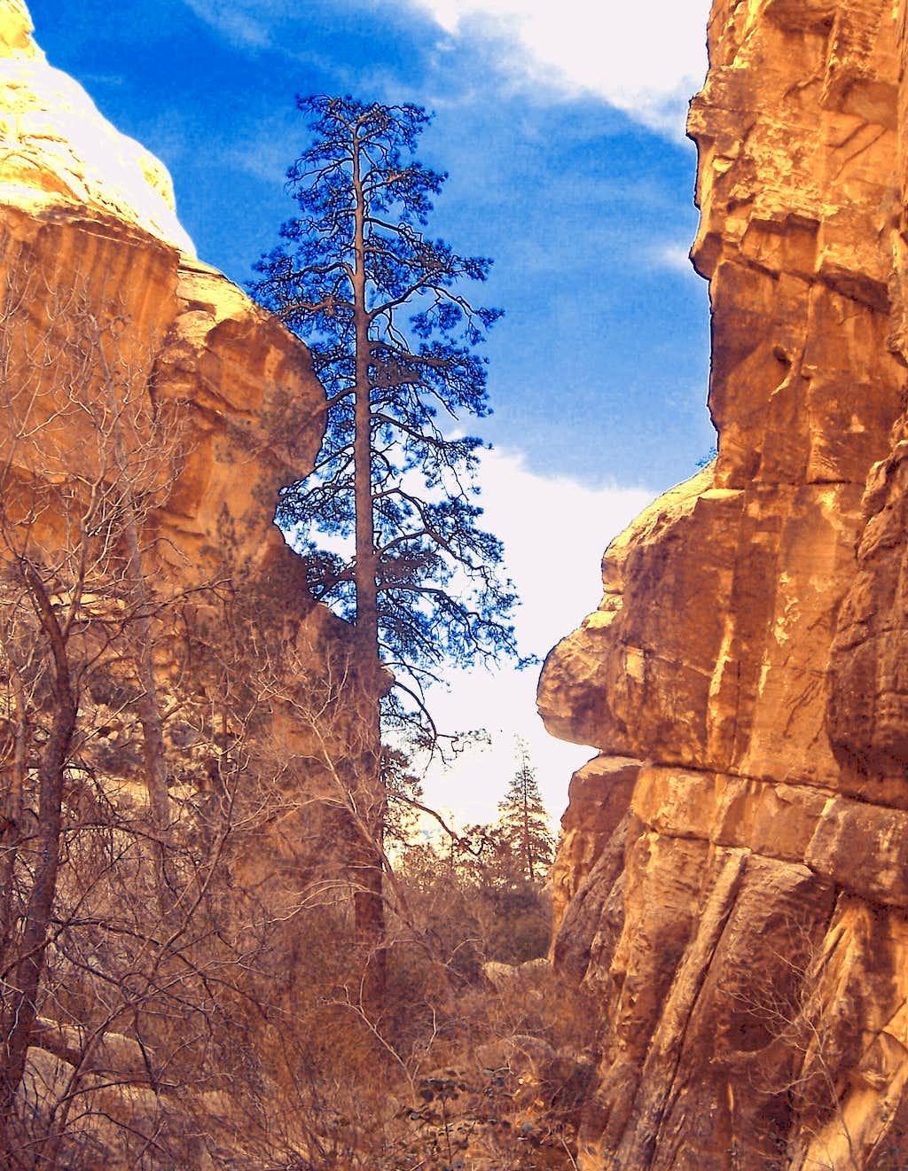 Pine Canyon Sunburst