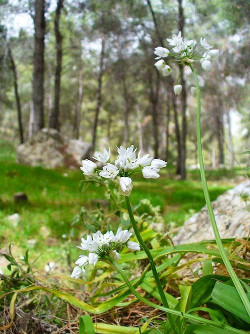 Naples Garlic (Meshulash) on Gilboa Mountain