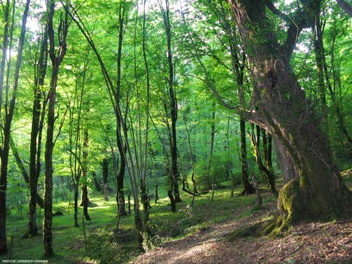 Gowser Forest