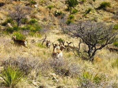 Local Deer herd