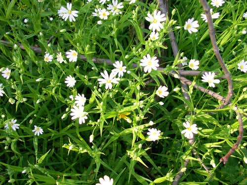 Spring in the massif...Stellaria...