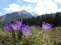 Another Shot of Kominiarski and Crocuses