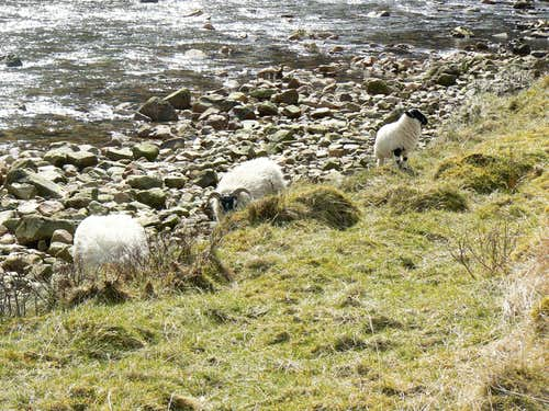 Sheep at the Water of Nevis