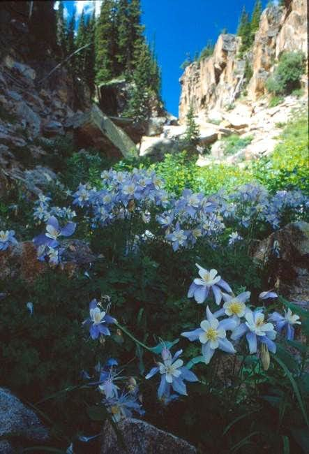 Colorado\'s state flower, the...