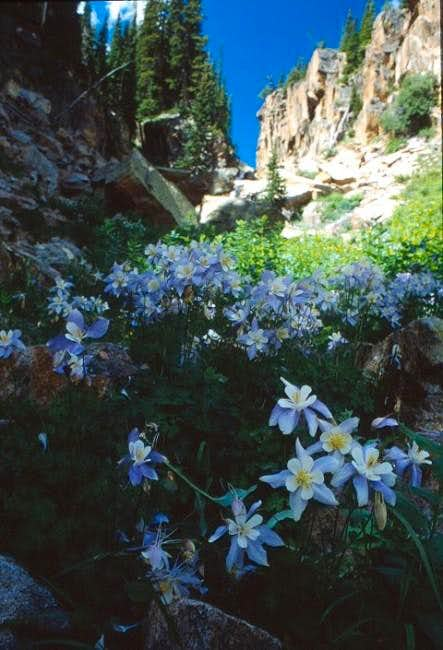 Colorado's state flower, the...