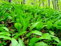 Bear Garlic in Beech Forest