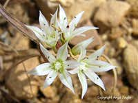 Wild Onion- Allium nevadense