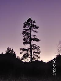 A lone Ponderosa Pine Tree.