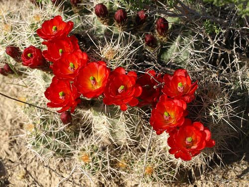 Claret Cup in bloom