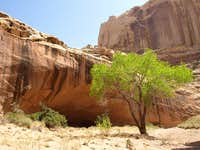 tree by an alcove in Lower Muley Twist Canyon