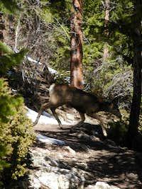 Deer on path up Bergen Peak