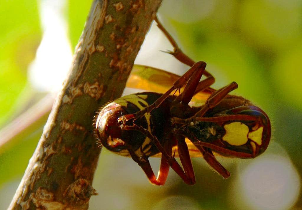 Hornet with prey