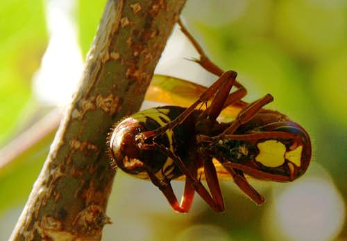 Hornet with prey