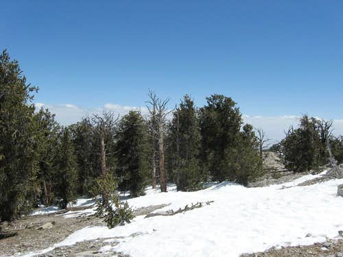 Bristle cone forest