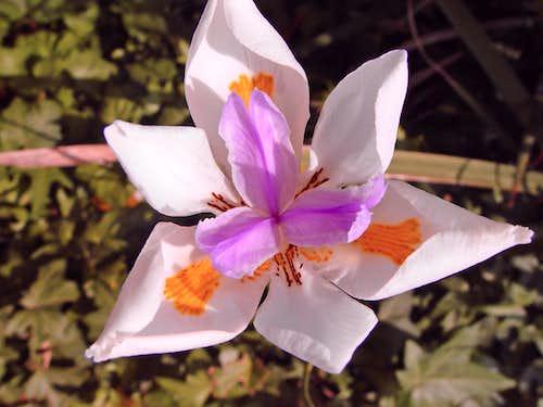Fairy Iris (<i>Dietes grandiflora</i>)