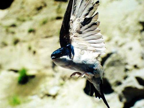 A Flying Swallow