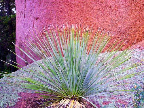 Desert Spoon on Nature's Table