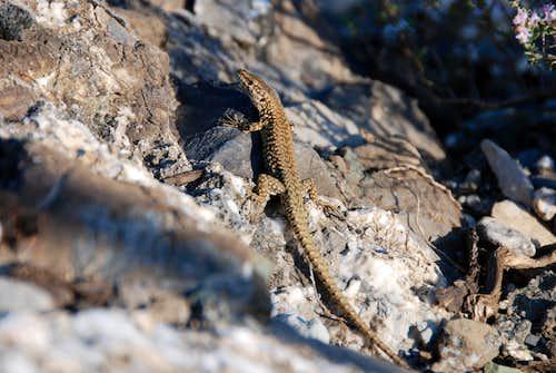 Lizard near Castello della Pietra