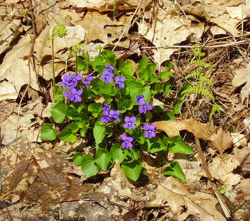 "Wild Violets on ""Three Springs Trail"""