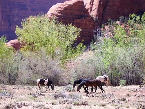 Navajo horses grazing near Window Rock