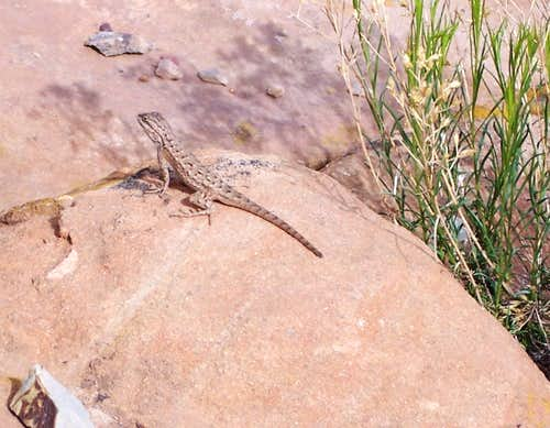 Canyon de Chelly Lizard